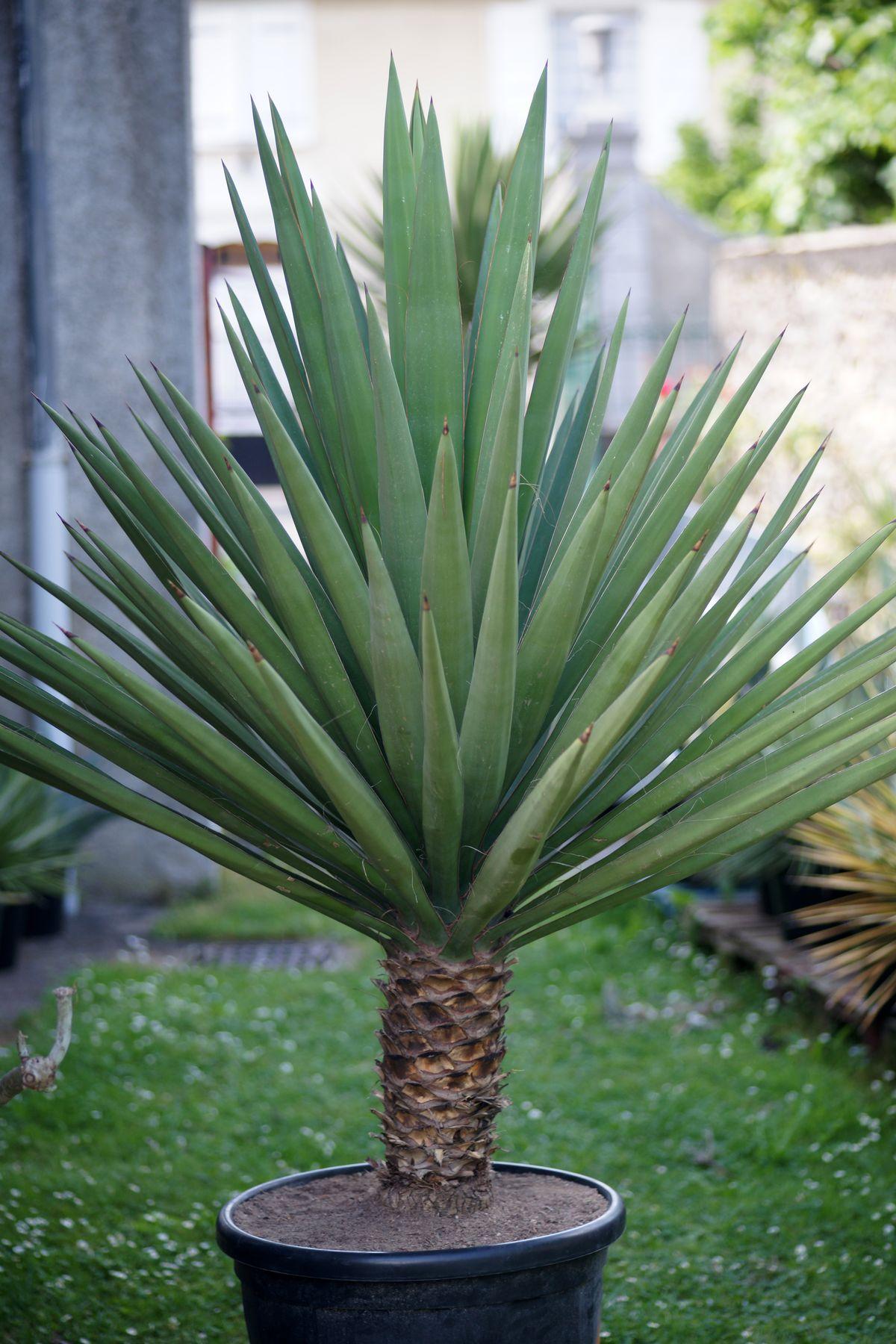 Yucca exterieur pot fencing plants landscaping quality for Yucca exterieur rustique
